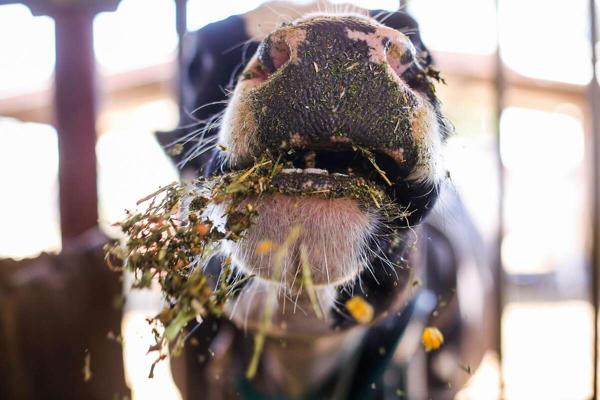 A cow which is part of a study chomps down on feed with a small amount of seaweed in it at the UC Davis Dairy Teaching and Research Facility in Davis, California, on Thursday, May 24, 2018. A study is being conducted where cows are being fed small amounts of seaweed to see if they emit less methane.