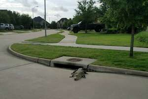 A gator that has evaded capture by slithering down a storm drain was finally apprehended by Fulshear Police on Thursday, May 24.