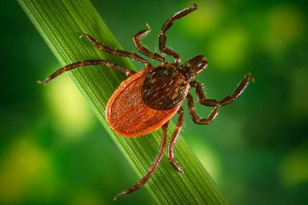 A black-legged tick, which can carry Lyme disease and other illnesses.