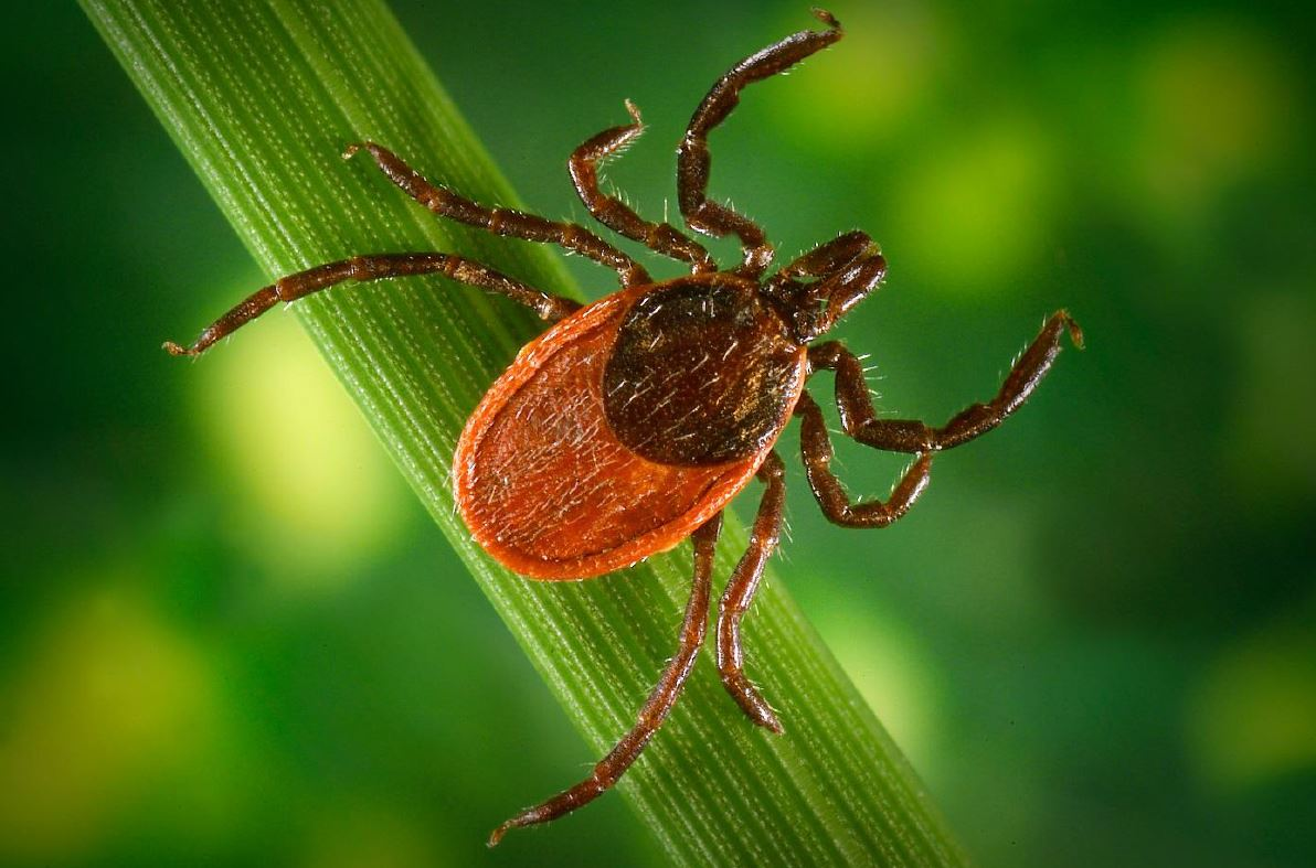 Relief for Lyme disease in humans may be on the way