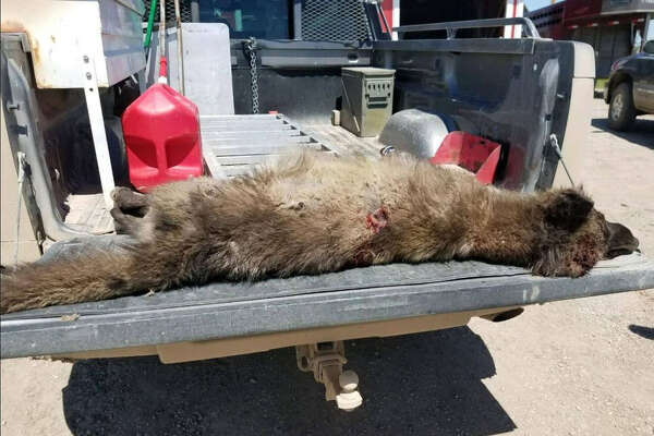Authorities aren't sure what, exactly, this wolflike creature is that was shot in Montana.