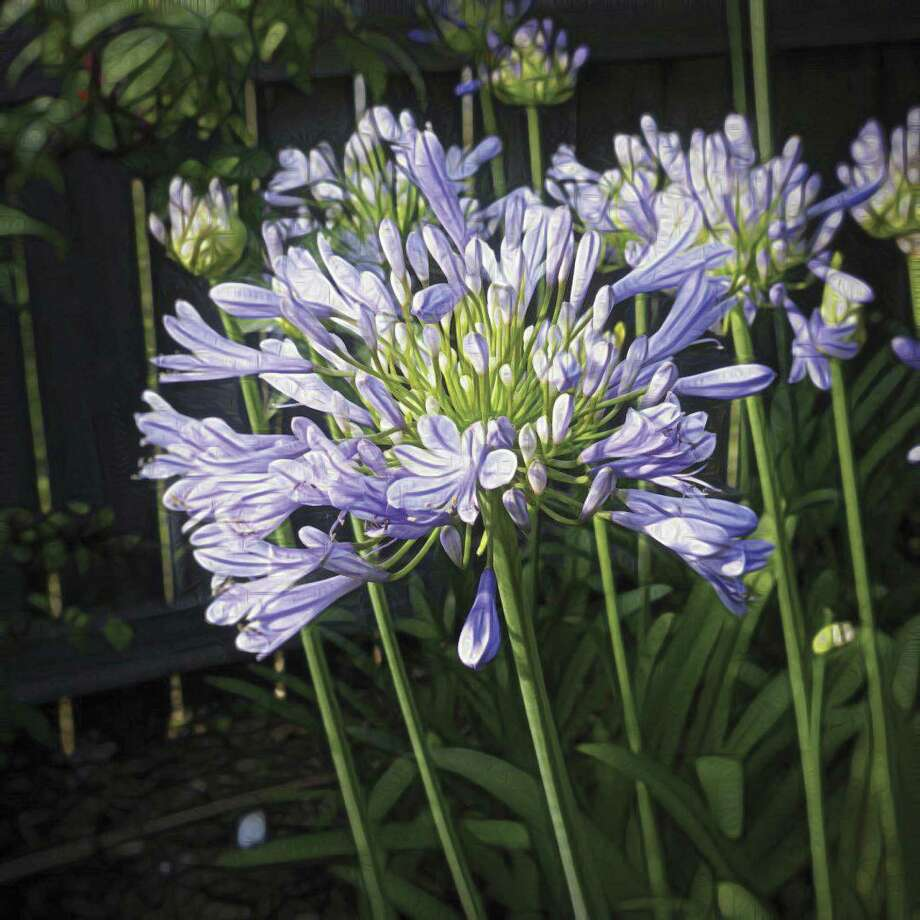 Master gardener agapanthus the lily of the nile the courier agapanthus come in a number of species both deciduous and evergreen however in our area izmirmasajfo