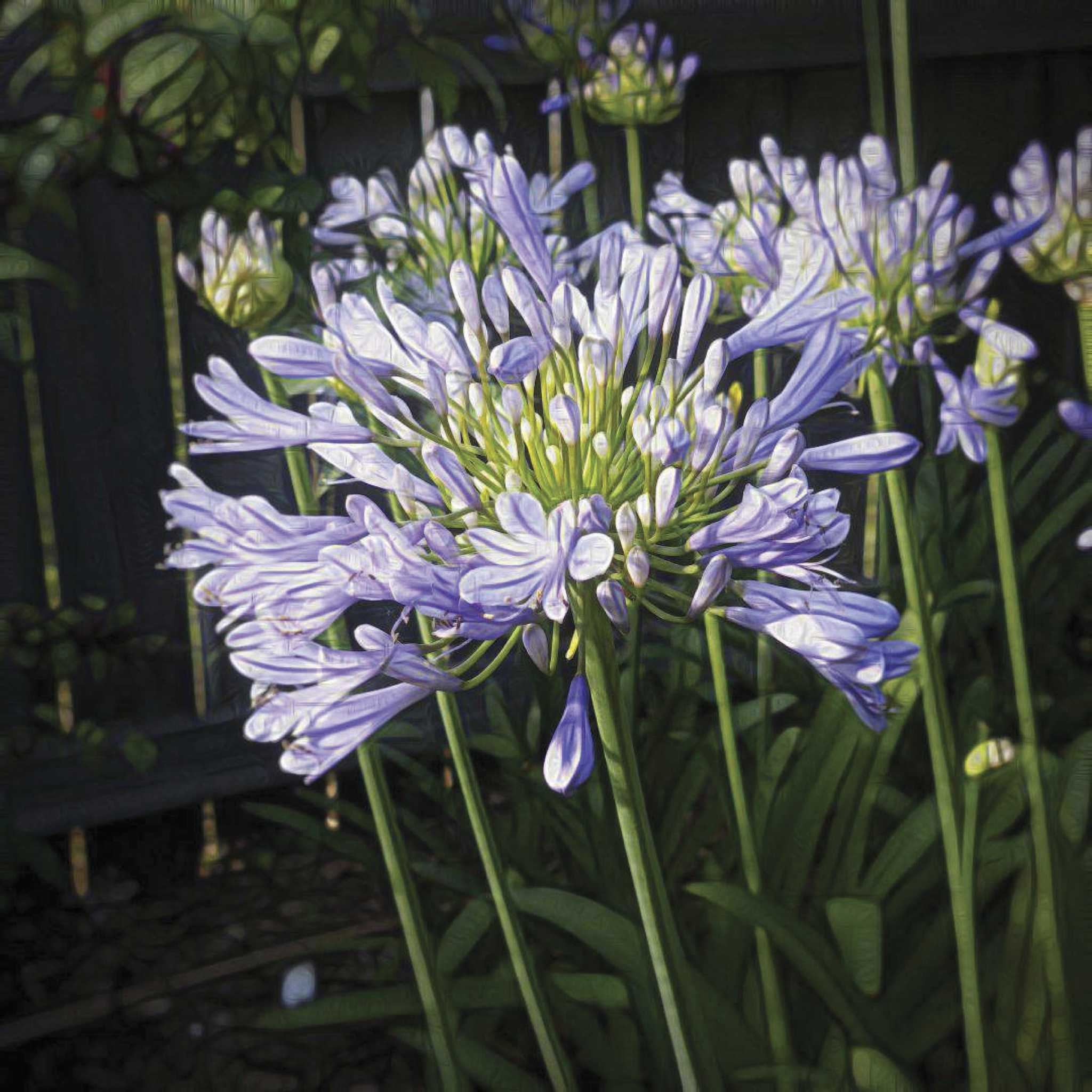 Master Gardener Agapanthus The Lily Of Nile Courier