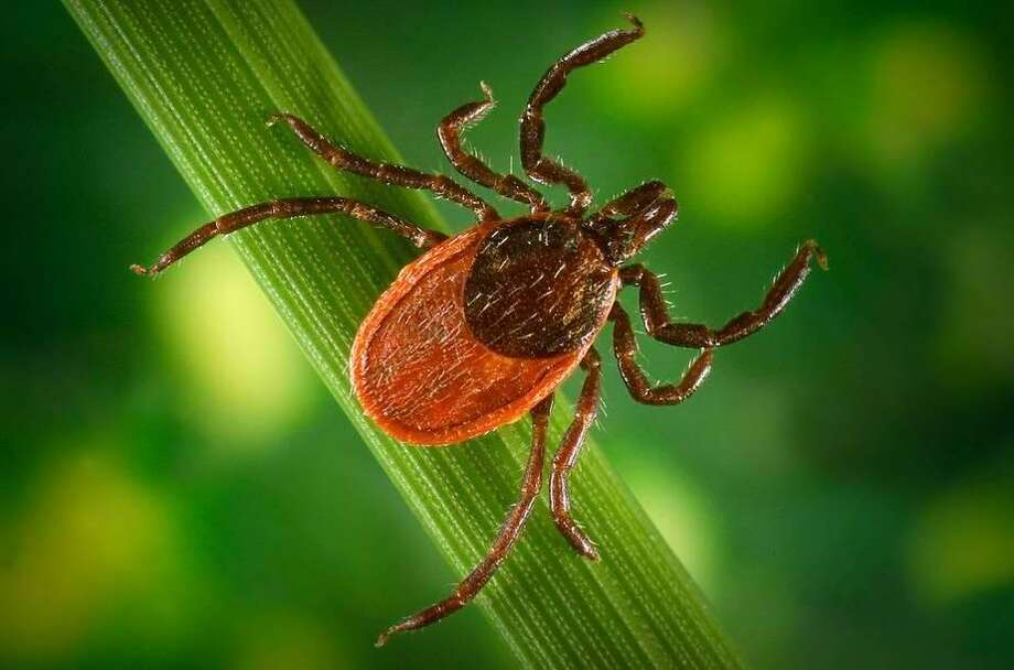 The sudden paralysis could've been caused by a tick. >>>See how to control insects this summer.  Photo: Houston Chronicle Files / Houston Chronicle Files