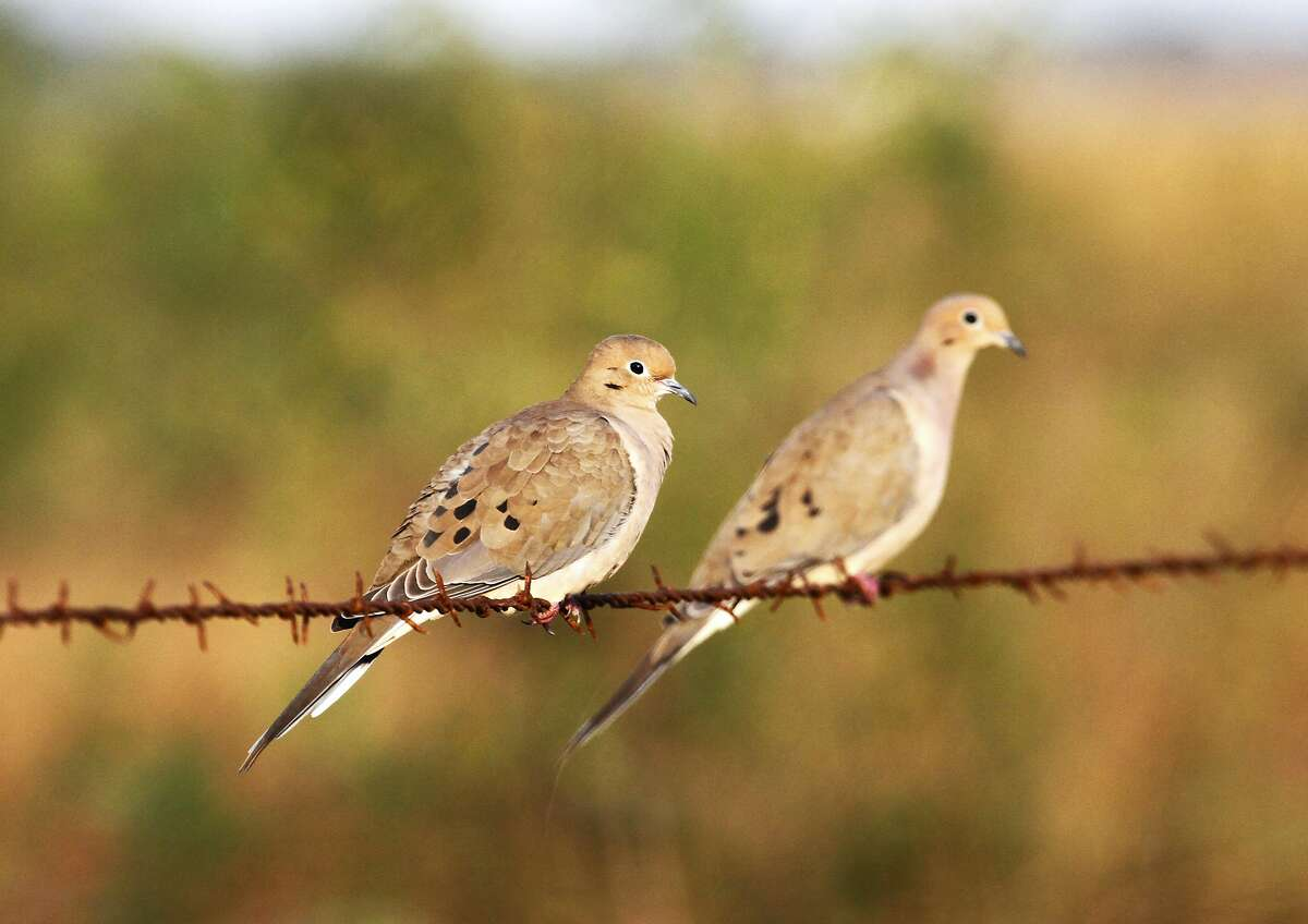 Dove season North zone: Sept. 1 to Nov. 12 and Dec. 20 to Jan. 5 Central zone: Sept. 1 to Nov. 3 and Dec. 20 to Jan. 14 South zone: Sept. 14 to Nov. 3 and Dec. 20 to Jan. 23 Special white-winged dove days (entire South Zone): Sept. 1, 2, 7, 8 - Daily bag limit: Statewide, 15 doves with the possession limit 45. - During the early two weekends in the special white-winged dove days: Hunting is allowed only from noon to sunset and the daily bag limit is 15 birds, to include not more than two mourning doves and two white-tipped doves. - During the general season n the special area: The aggregate bag limit is 15 with no more than two white-tipped doves.