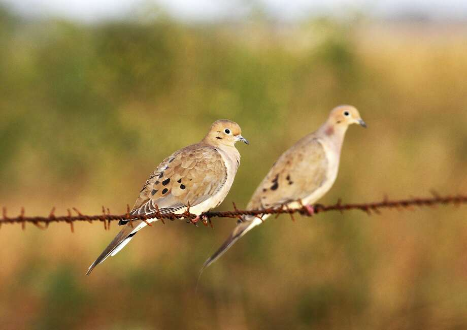 Dove season
