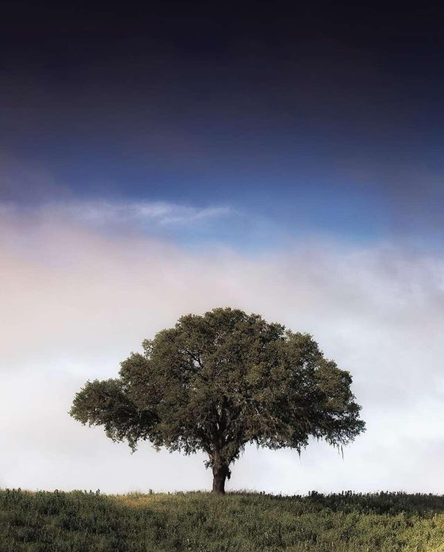 One tree (in Healdsburg) by @vincentjamesphotography.