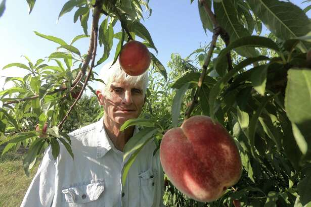 """Russ Studebaker examines peaches on his farm near Fredericksburg on Friday, May 25, 2018. """"We're really happy with the crop, it's really nice, really tasty,"""" he said."""