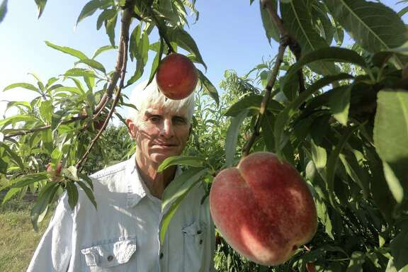 "Russ Studebaker examines peaches on his farm near Fredericksburg on Friday, May 25, 2018. ""We're really happy with the crop, it's really nice, really tasty,"" he said."