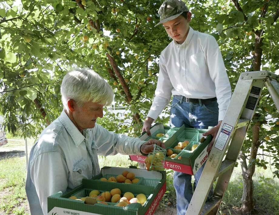 Russ Studebaker, left, and Juan Pablo Hinckley collect apricots on the Studebaker farm near Fredericksburg on Friday, May 25, 2018. Photo: Billy Calzada, Staff / San Antonio Express-News / San Antonio Express-News