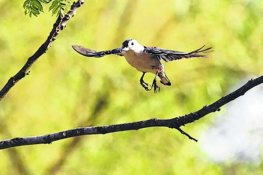 A bird goes in for a landing on a tree branch near Waverly.