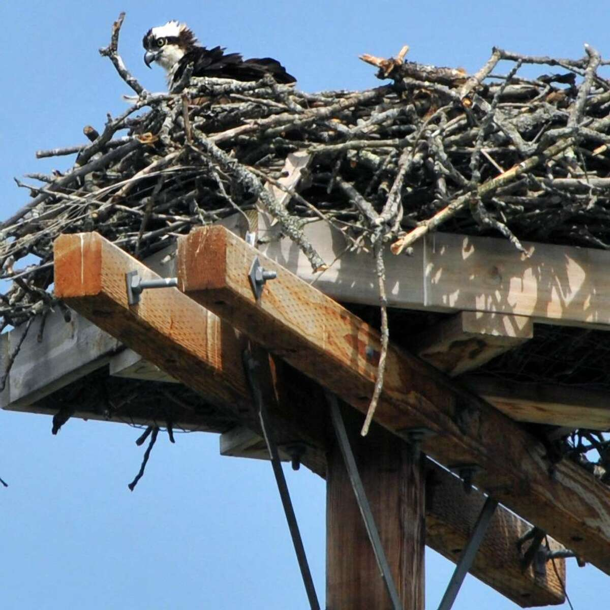 A young osprey takes in the view from its nest along the Champlain Canal in Fort Edward in 2010. Ospreys - after years of decline in New York State - have made a big comeback. (John Carl D'Annibale / Times Union)