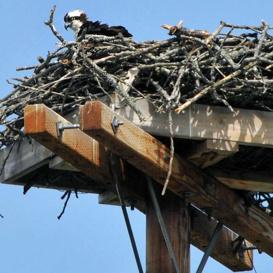 A young osprey takes in the view from its  nest along the Champlain Canal in Fort Edward in 2010. Ospreys — after years of decline in New York State — have made a big comeback.  (John Carl D'Annibale / Times Union) / 00009236A