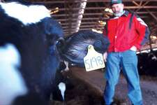 Joe Greenbacker, part owner of Brookfield Farm in Durham with other family members, stands inside of his cow barn while one of his cows investigates the camera. Greenbacker was recently elected to the Board of Directors of Agri-Mark, a milk cooperation in which he represents 80 area dairy farmers in central and eastern Connecticut.