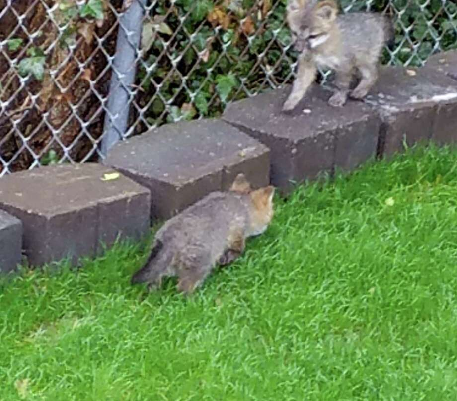 The Connecticut Wildlife Rehabilitators Association is offering a  monetary reward for information regarding the death of a mother fox,  according to a release.The fox leaves behind  five small fox kits, who have been seen romping in a neighbor's yard,  the release stated. Photo: Contributed