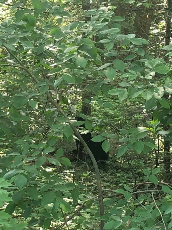 Residents are reminded to be vigilant as several black bears have been sighted in North Haven. Photo: North Haven Police Department