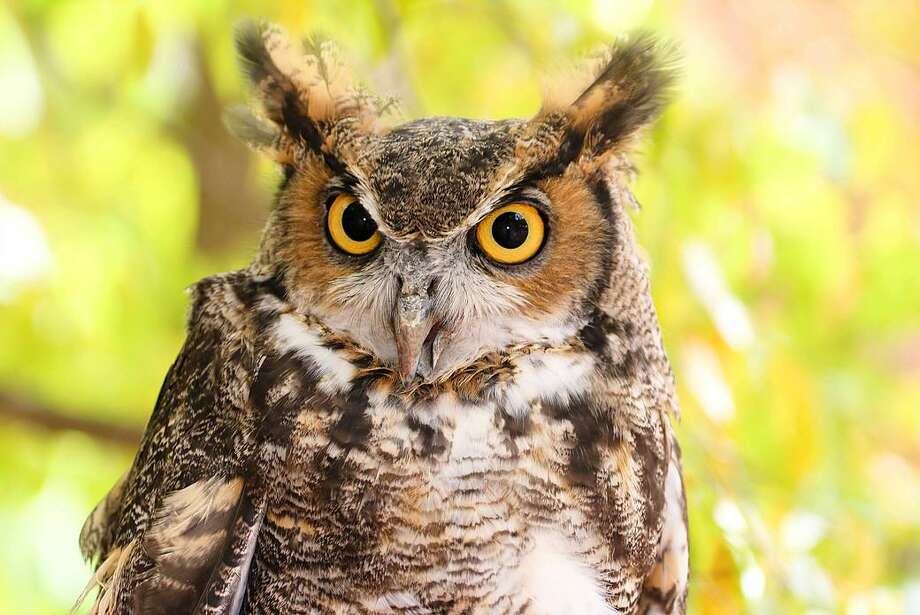 Get up close and personal with Hooty, Woodcock Nature Center's resident Great Horned Owl, during Hikes, Hops & Hooty on Wednesday, June 6 at 6:30 p.m. Photo: Contributed