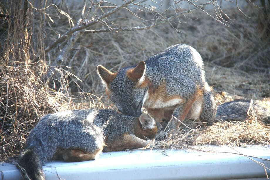 Click ahead to see gray foxes spotted around the Bay Area. Photo: Bill Leikam / The Fox Guy