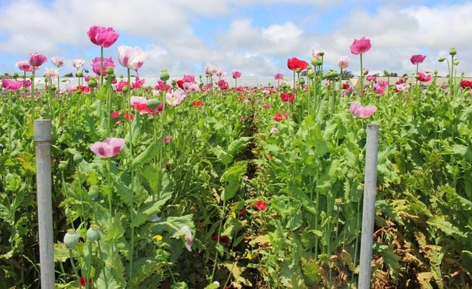 17 tons of opium poppy plants found at 8 monterey county grow sites nearly 35000 pounds 17 tons of mature opium poppies were destroyed photo mightylinksfo