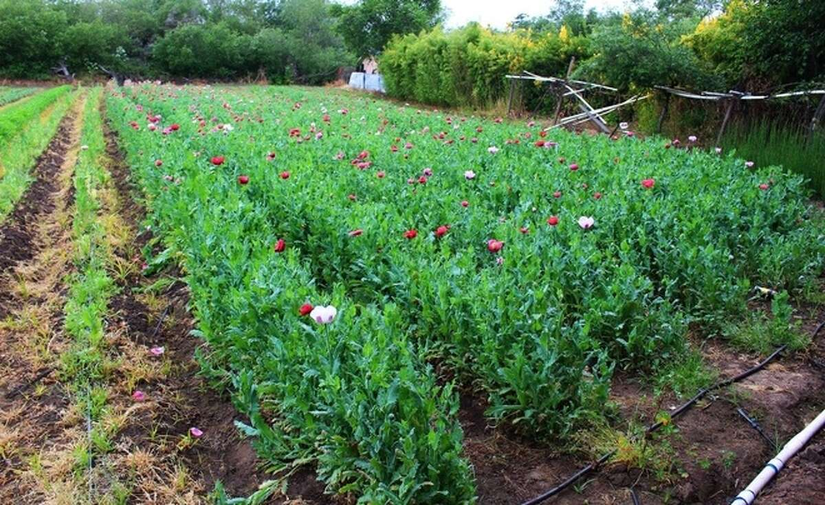 Nearly 35,000 pounds (17 tons) of mature opium poppies were destroyed.