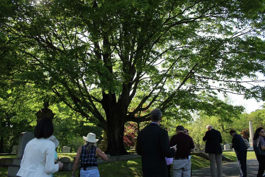 A large sugar maple has the attention of those taking an audio walking tour of the Oak Lawn Cemetery and Arboretum. Photo: Genevieve Reilly / Hearst Connecticut Media / Fairfield Citizen