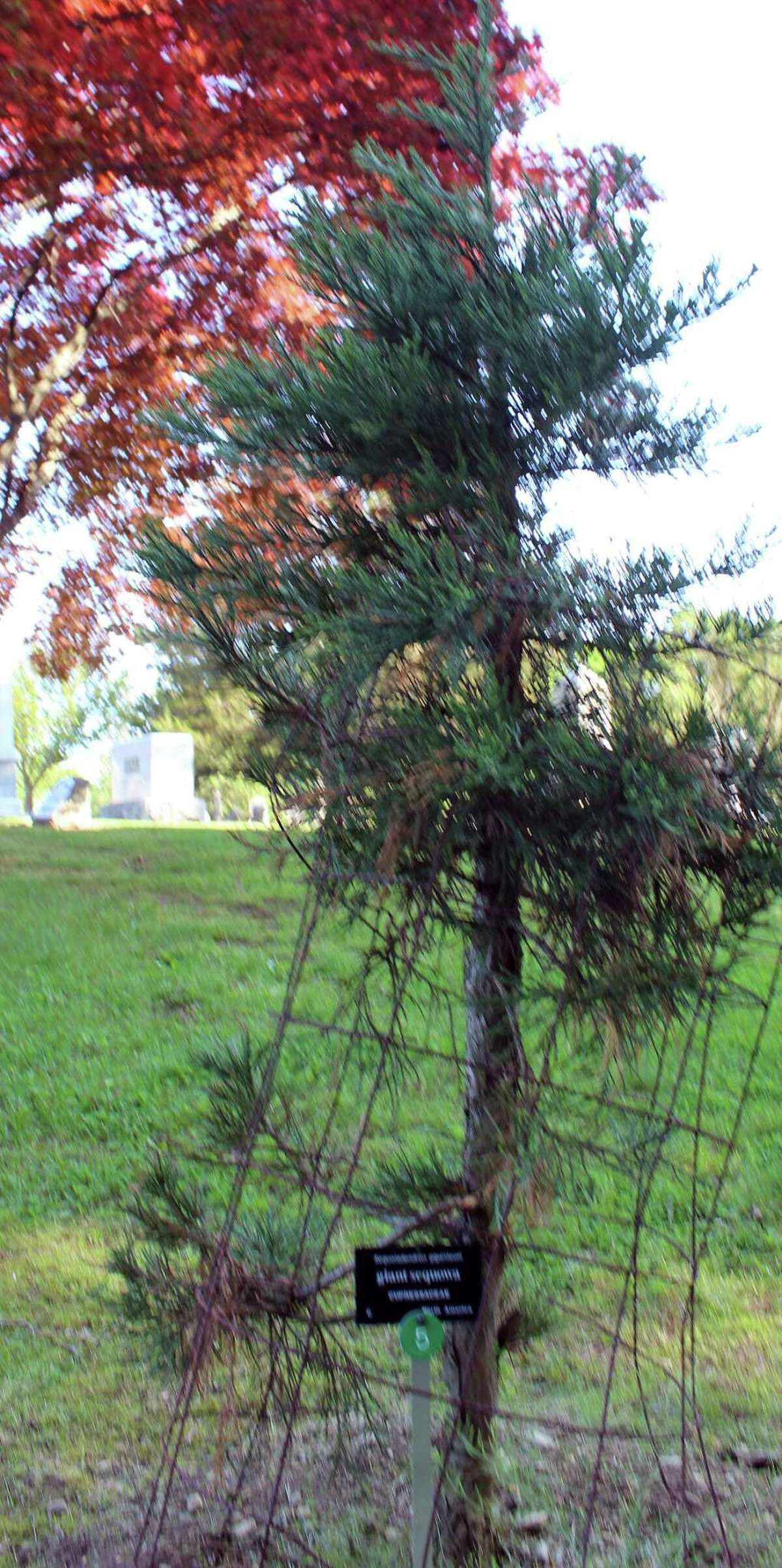 A young Giant Sequoia is part of the arboretum at Oak Lawn Cemetery.