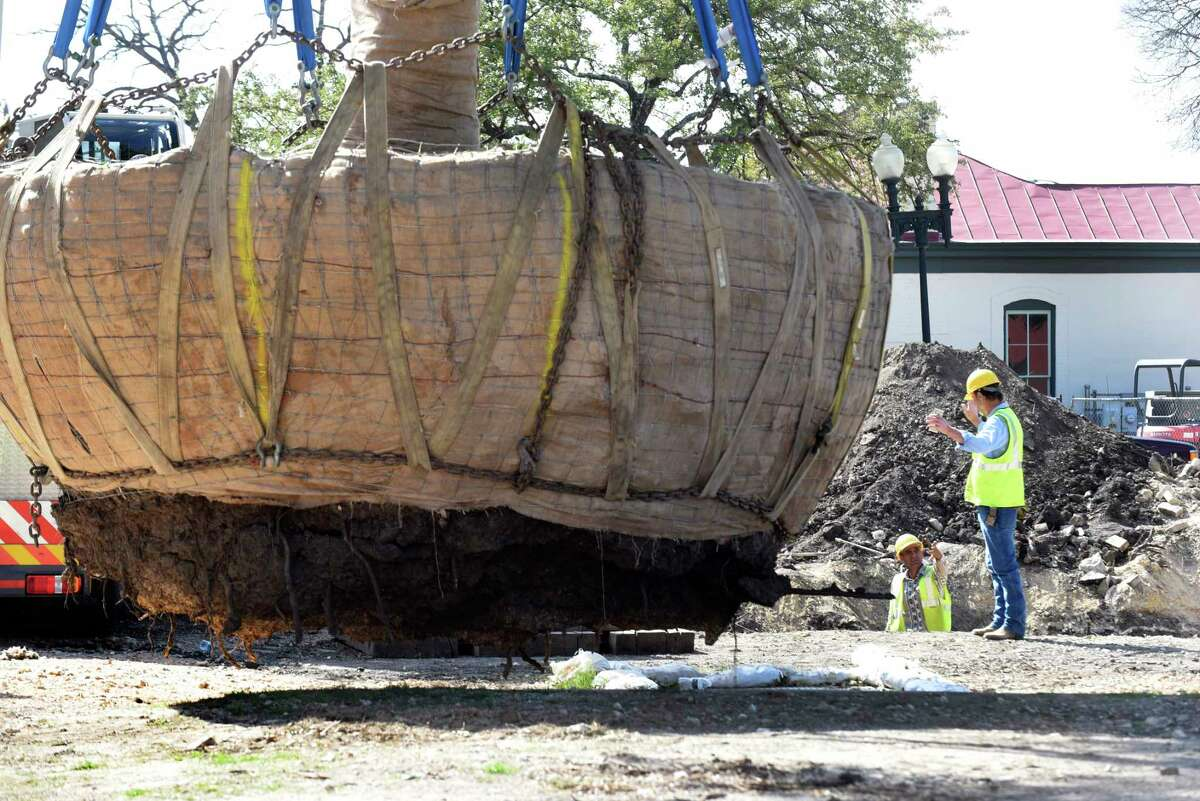 Workers with Cowboy Services and Tree Sales & Rescue transplant a heritage live oak tree believed to be 50 years old in Hemisfair Park to another location within the park on Tuesday, Jan. 24, 2017.