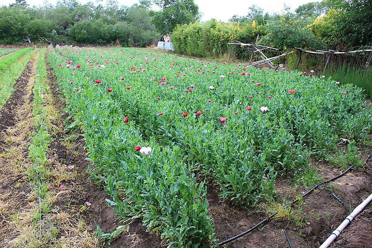 In what may be the largest opium bust in California history, Monterey County Sheriff's investigators seized more than 34,000 pounds of opium poppies around the county.