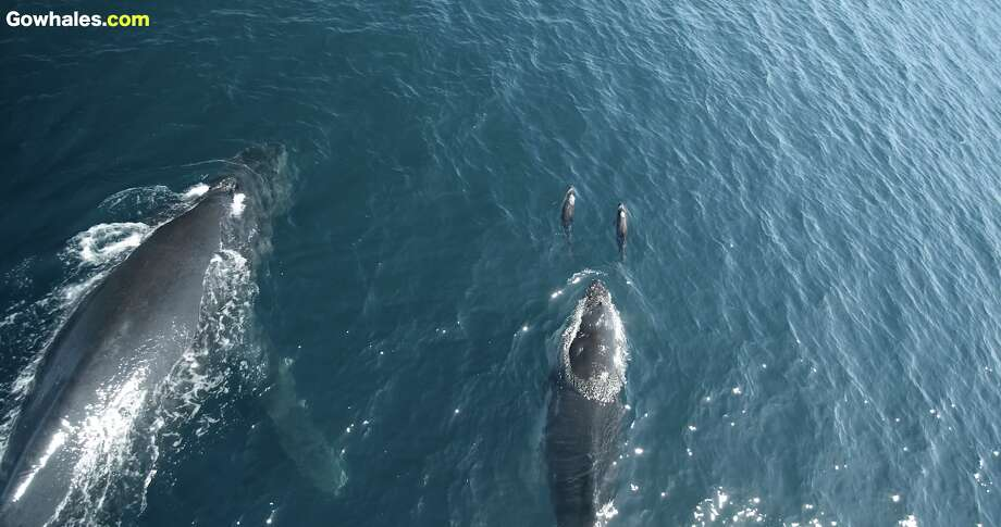 A screenshot from the video shows the dolphins splashing near the humpback calf's head in Monterey Bay on May 14, 2018. Photo: Monterey Bay Whale Watch