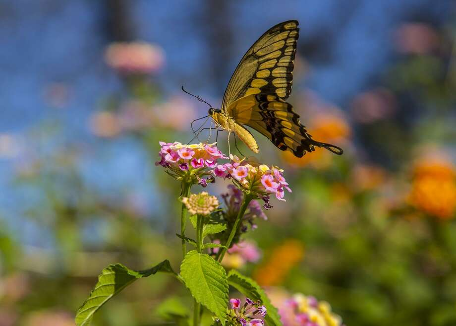 Giant swallowtail butterflies have a nearly 6-inch wingspan with brilliant yellow bands along the wing edges. Photo: Kathy Adams Clark / Kathy Adams Clark/KAC Productions / Kathy Adams Clark/KAC Productions