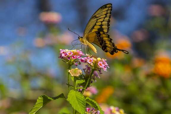 Giant swallowtail butterflies have a nearly 6-inch wingspan with brilliant yellow bands along the wing edges.