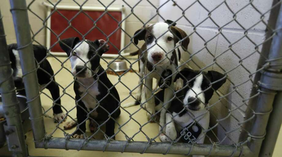The Harris County Animal Shelter has an urgent need for adoptions and foster families for an influx of abandoned pets. Photo: Karen Warren, Staff / Houston Chronicle / © 2018 Houston Chronicle