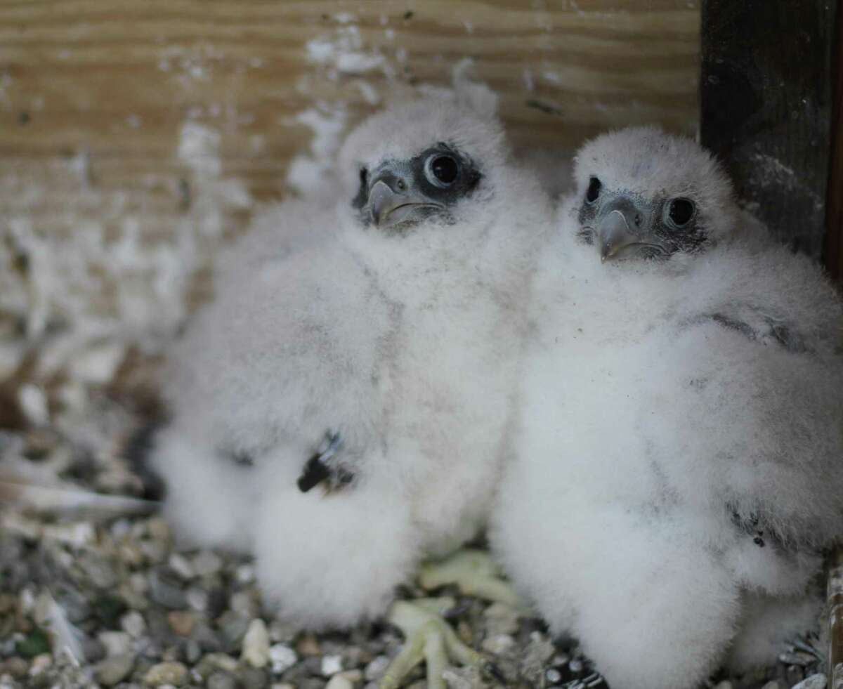 Two of the three peregrine falcon chicks that hatched in April atop the UC Berkeley Campanile.