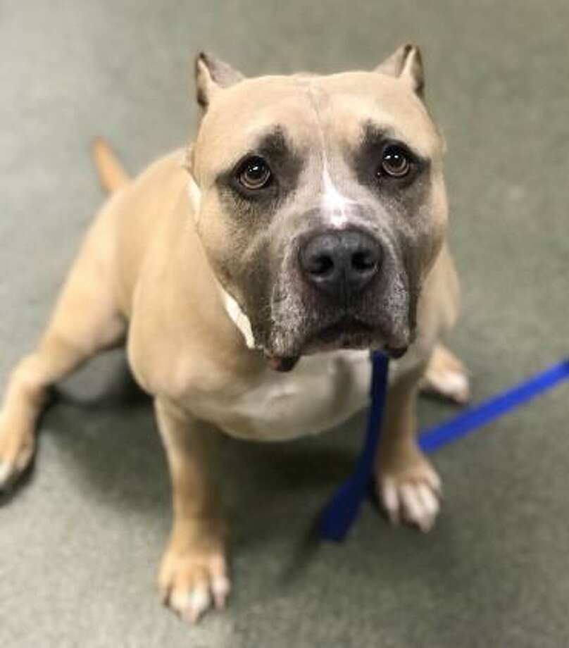 This is 6-year-old Merlin, who is presently at our Newington Care Center. Merlin can live in any size home, including apartments. He is an extra-large dog with a smooth tan and white coat. Merlin would like to live with dog savvy kids 10 and up. This dog has not had much experience with cats or dogs but he is willing to consider sharing his home with a furry friend. Merlin is calm but he does have his moments of energy and needs to get some exercise every day. Merlin is a great dog with lots of potential. He needs a family with general dog experience. Inquiries for adoption should be made at the Connecticut Humane Society located at 701 Russell Road in Newington or call toll free: 1-800-452-0114. Photo: Contributed Photo