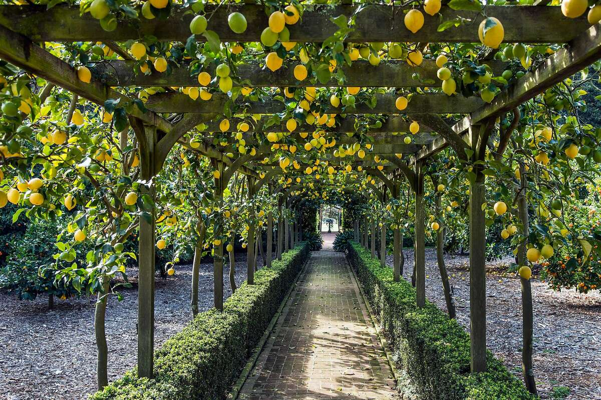 The lemon arbor at Ganna Walska Lotusland, a collection of exotic plants in Montecito.
