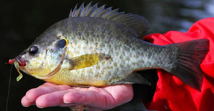Redear sunfish, one of the largest members of the sunfish family, are usually taken on natural baits such as worms but will readily fall to small artificial lures such as jigs or in-line spinners.