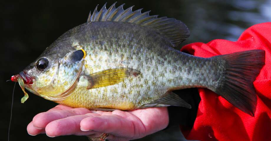 Redear sunfish, one of the largest members of the sunfish family, are usually taken on natural baits such as worms but will readily fall to small artificial lures such as jigs or in-line spinners. Photo: Shannon Tompkins/Houston Chronicle
