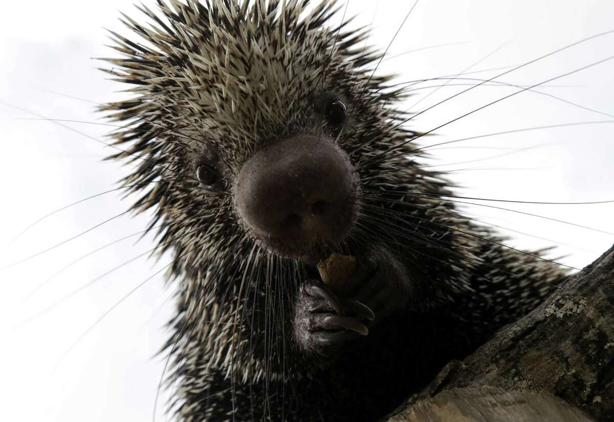 Occasional porcupines in Leon Valley. One attacked three dogs last year.