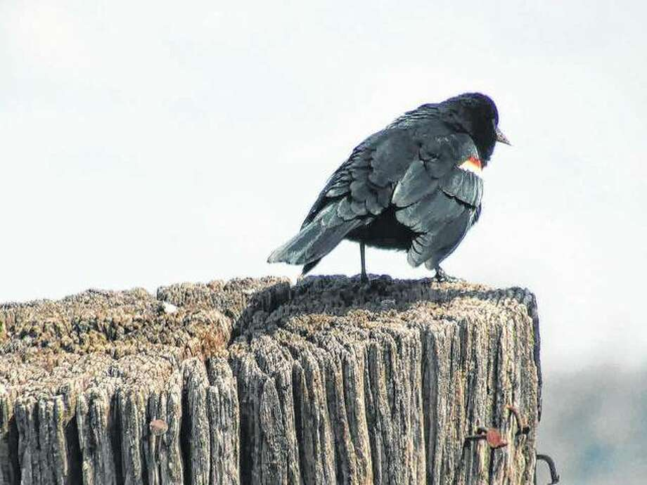 A red-winged blackbird pauses on a post in Scottville.