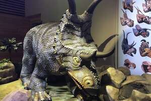 "An animatronic Diabloceratops is among the creatures spotlighted in ""Predators vs. Prey: Dinosaurs on the Land Before Texas,"" the big summer show at the Witte Museum. The ""diablo"" in the name refers to the dinosaur's curving horns."