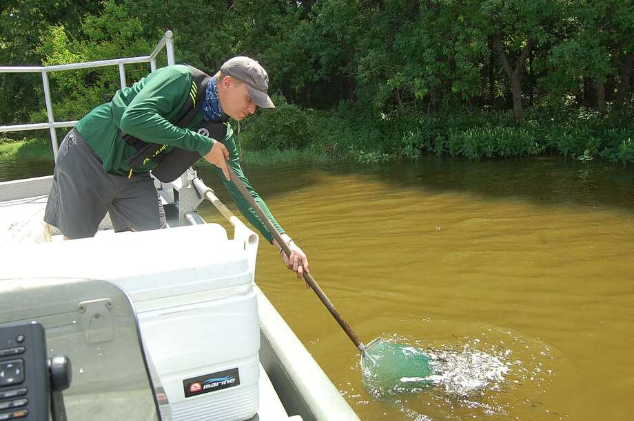 Over a two-day period, 109,000 largemouth bass were released into Lake Conroe as a part of the Texas Parks and Wildlife Department's fish stocking program. Photo: TPWD
