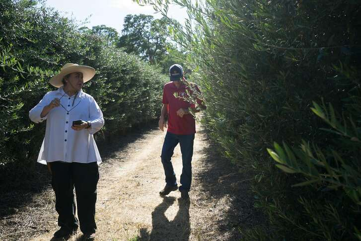 Liz Tagami (left) and Larry Treat walk through a field of olive trees at the Hall Road Orchard in Corning, Calif. on Sunday, June 3, 2018.