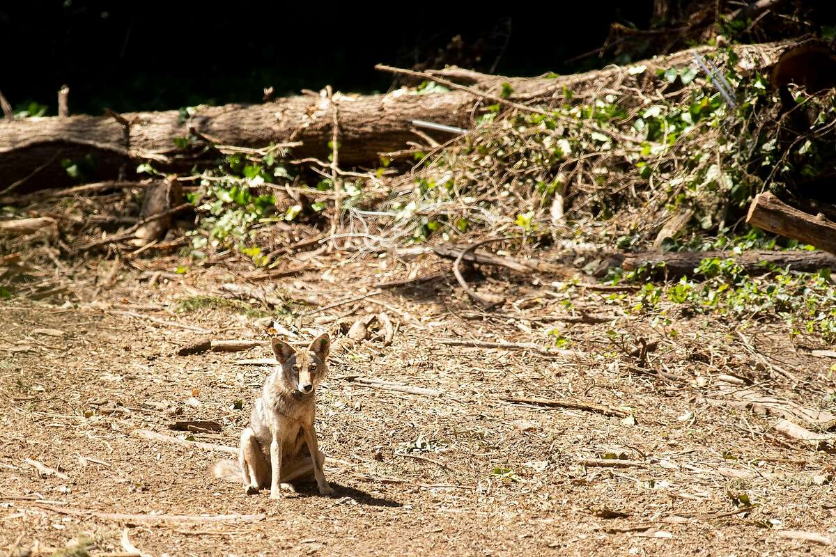 A juvenile male coyote sits in the Presidio on Monday, June 4, 2018, in San Francisco.
