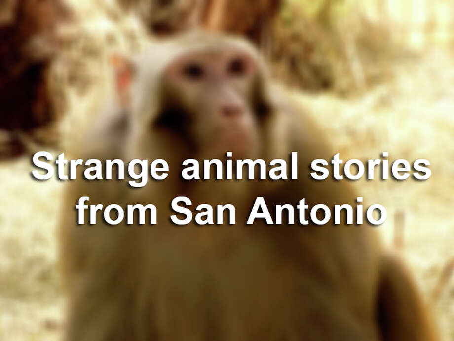 Click through for a roundup of escapes, bites and other strange animal tales from the San Antonio area. Photo: SAEN