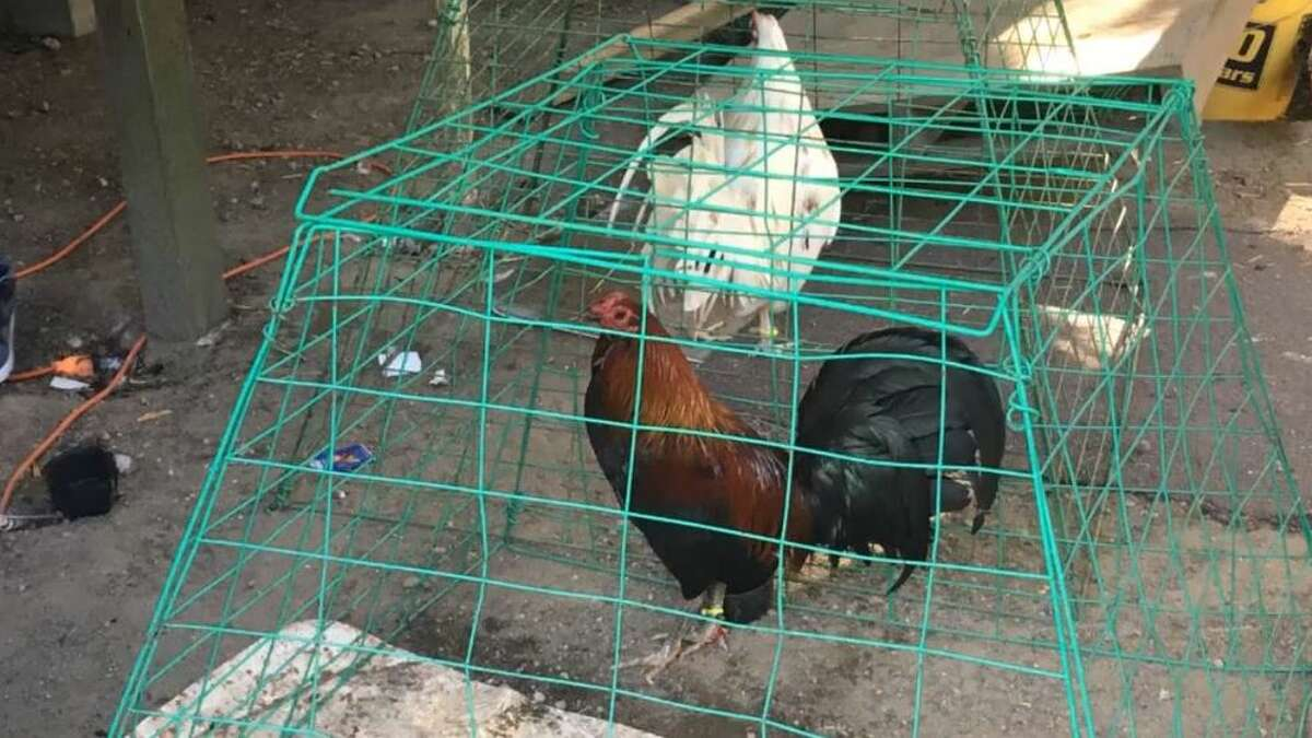 300 roosters seized during cockfighting ring bust in Port Orchard, WA.