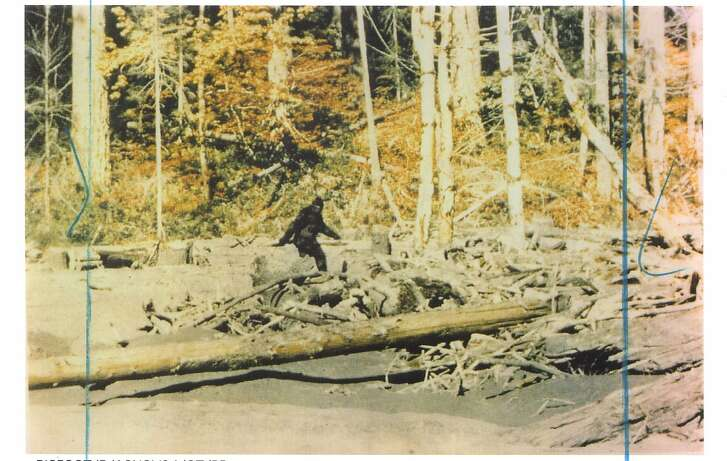 BIGFOOT/C/18JAN98/SC/ROGER PATTERSON THIS IS A STILL FRAME FROM THE 16MM FILM SHOT BY HUNTER ROGER PATTERSON ON BLUFF CREEK, NEAR WERTCHPEC, CALIFORNIA IN OCTOBER, 1967. ROGER PATTERSON, SUPPLIED COURTESY OF RENE DAHENDEN (OWNER OF THE RIGHTS) THIS CREDIT MUST RUN BY AGREEMENT ALSO RAN 12/7/02