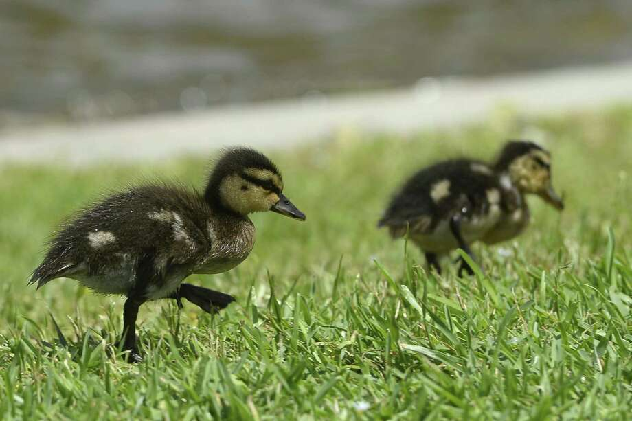 Ducklings walk through the grass in search of food by the pond outside of the Event Centre in downtown Beaumont.   Photo taken Tuesday 6/5/18  Ryan Pelham/The Enterprise Photo: Ryan Pelham / The Enterprise / ©2018 The Beaumont Enterprise