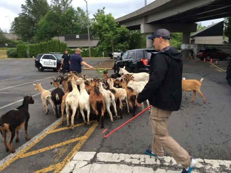 A herd of about 50 goats got loose at the Lynnwood Transit Center Sunday evening during their vegetation control gig. Lynnwood police officers corralled and accounted for all of them in about 45 minutes. Photo: Lynnwood Police Department