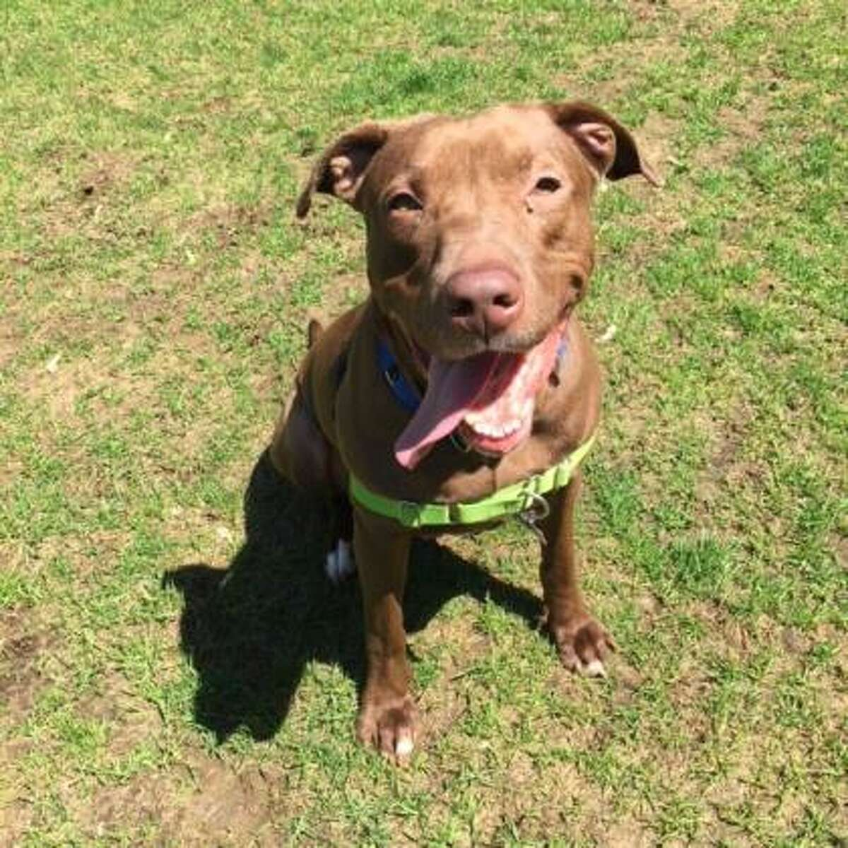 Bentley is a 4-year-old male Labrador retriever and American pt bull terrier mix available for adoption at the Mohawk HudsonHumane Society in Menands. Watch this video of him playing at the shelter. Here is his biography: