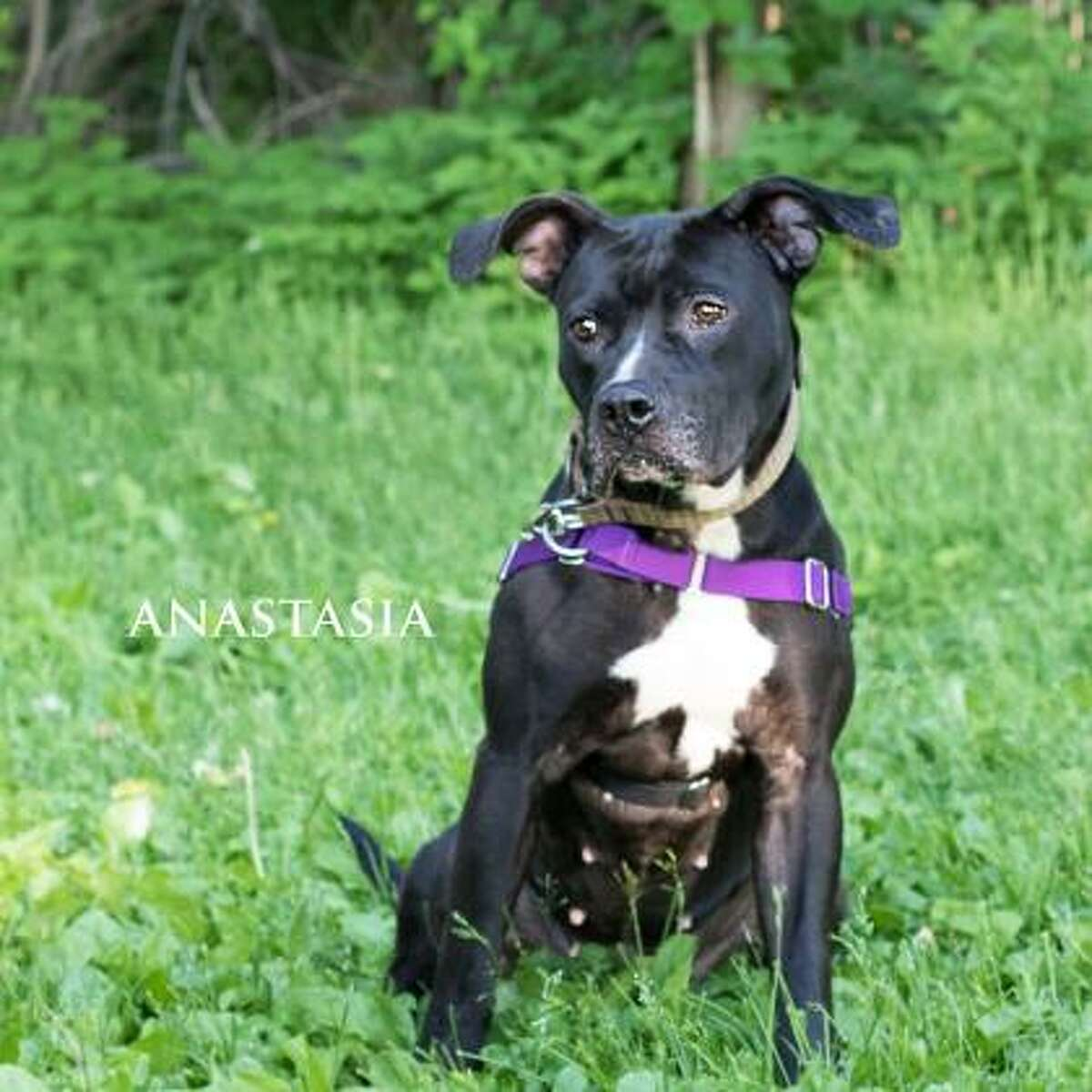Anastasia is a 2-year-old female American pit bull terrier mix available for adoption at the Mohawk Hudson Humane Society in Menands. Here is her biography: